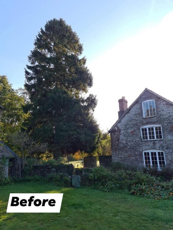 huge conifer removal (before)