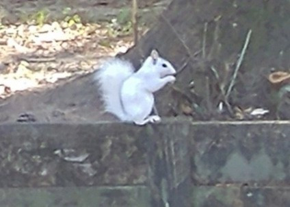 Meet George the White Squirrel!