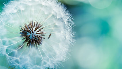 blue-dandelion-wallpapers-60972-824513.j