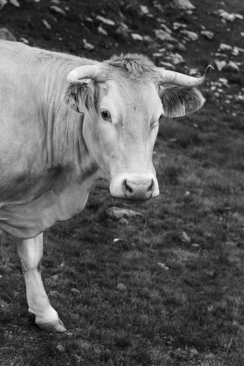 La vache de la prairie aux fleurs n°1, 2018