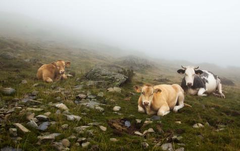 Les trois vaches du lac de la Coume, 2015