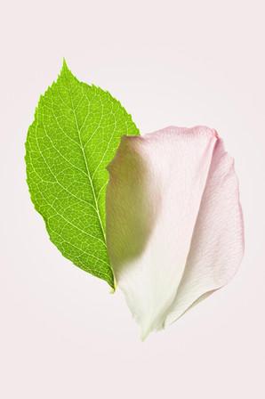 Pétale de rose n°4