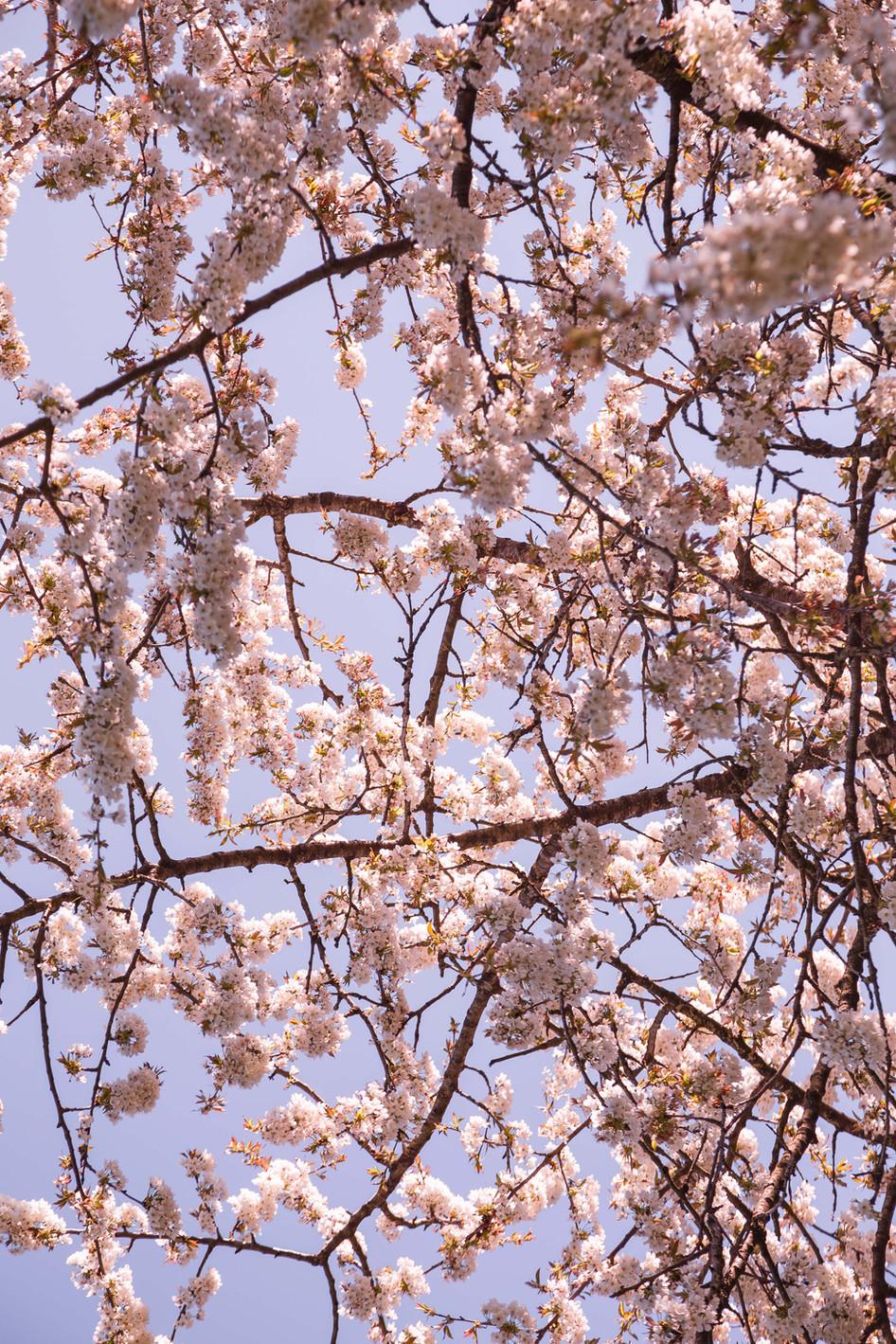 Cerisier en fleur, 2020