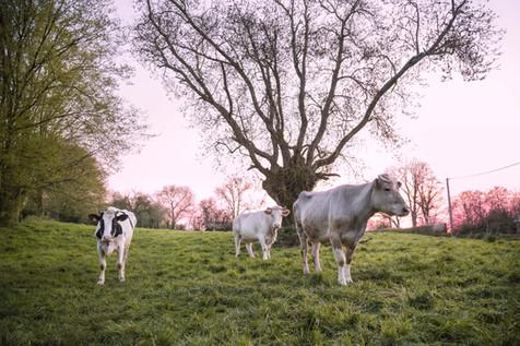 Trois vaches picardes au crépuscule, 2020