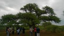 Marico Matters: The Rain Tree