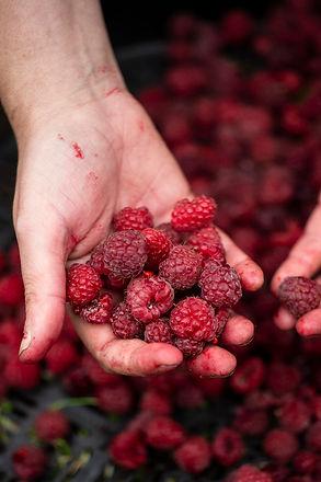 Raspberry raspberries hand summer decemb