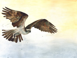 Osprey 'On the Rise' Rachel Farr.jpg