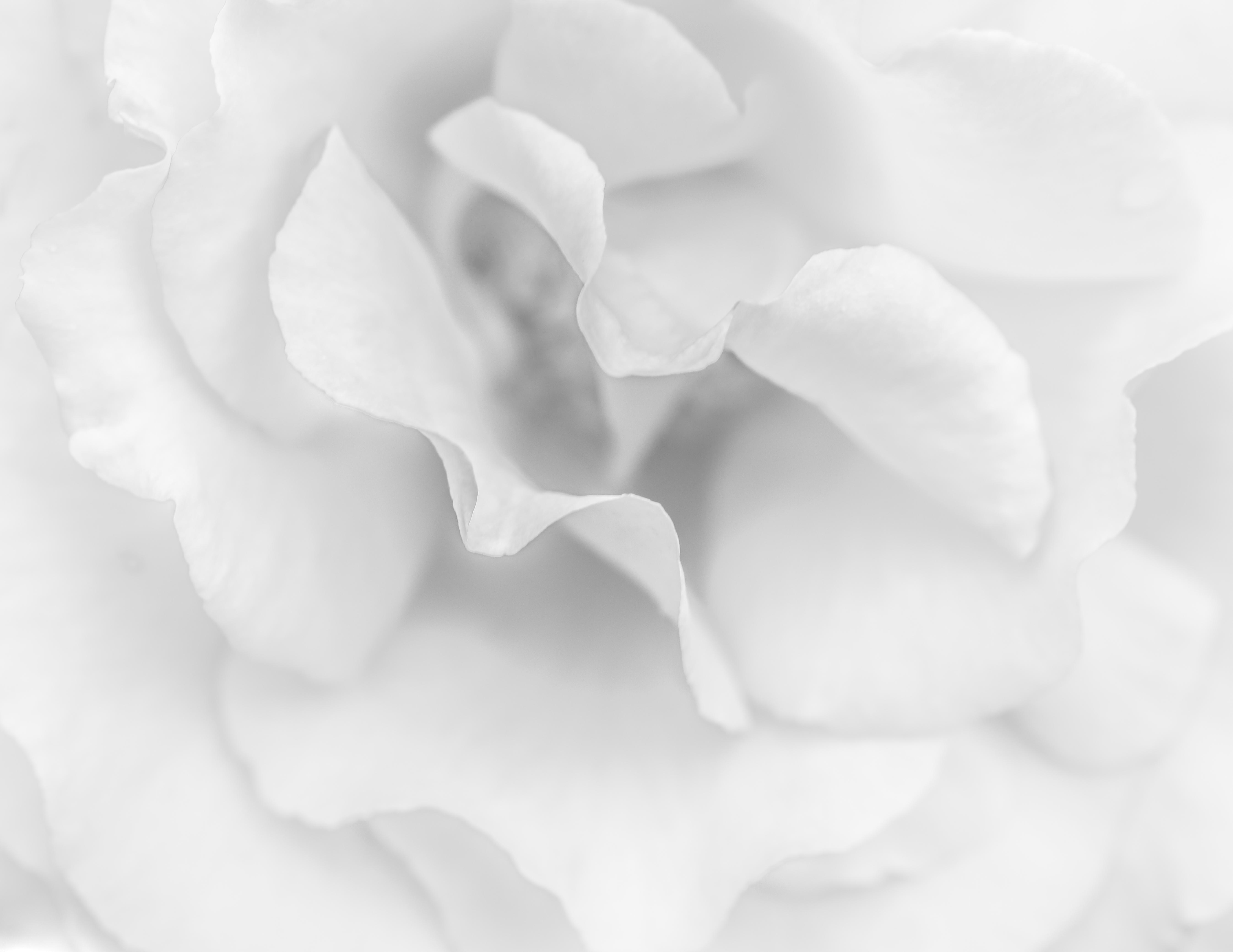 Shrub Rose / Rhosyn y Llwyn