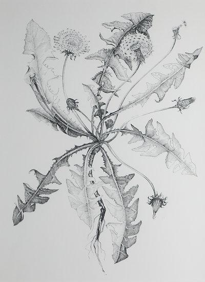 Walk / Taith #25 Dandelion / Dany y Llew /  Taraxacum officinale