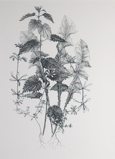 Walk #24 Cleavers, Dandelion and Nettle: Spring  Allies