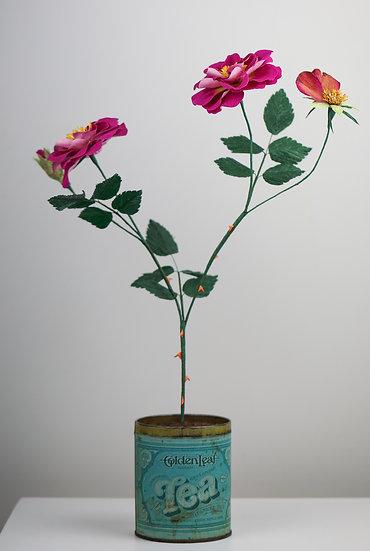 Apothecary Rose in Tea Caddy / Rhosyn Caerhirfryn  mewn bocs