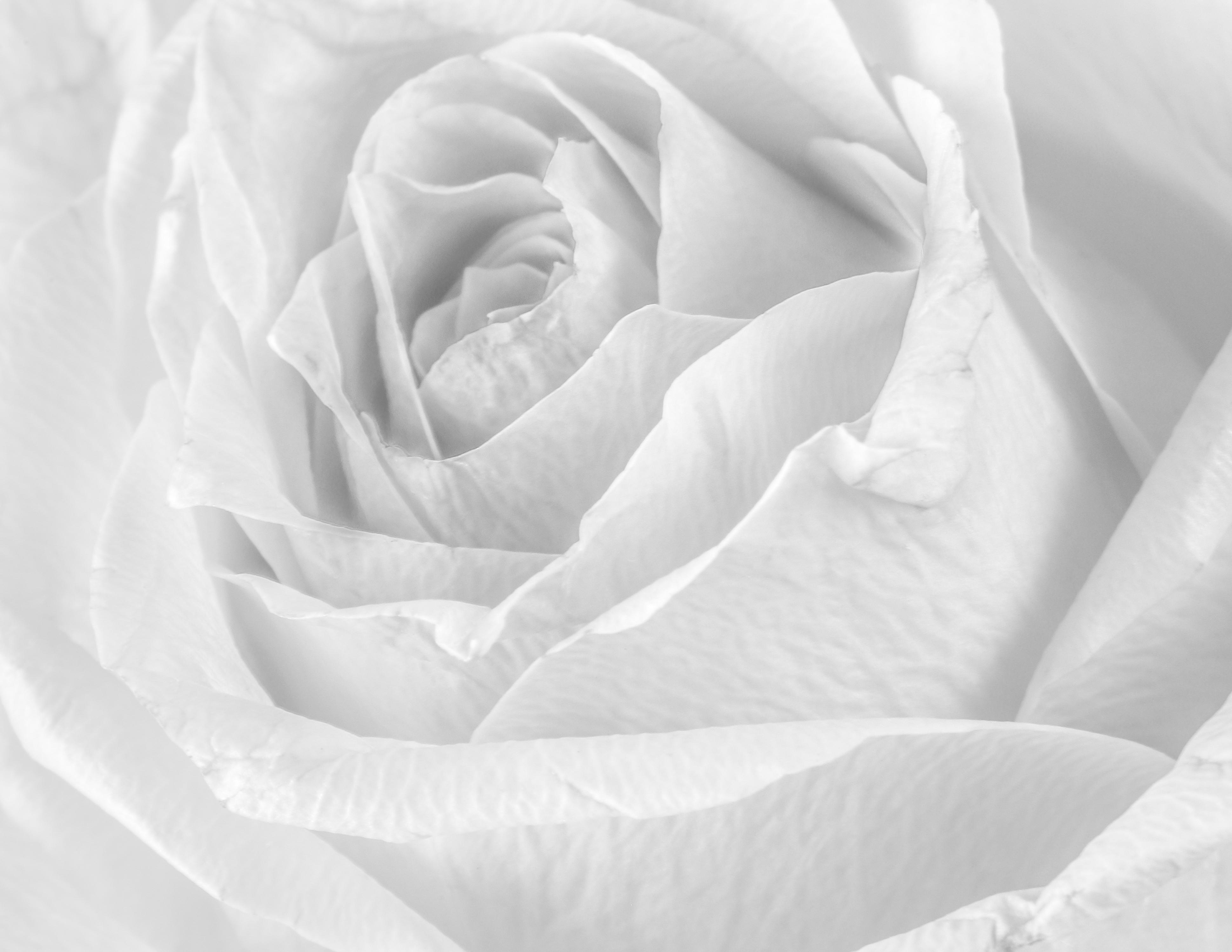 Rose – Light Pink / Rhosyn – Pinc golau