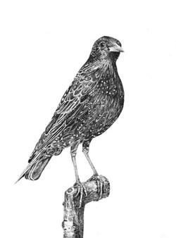Sue Rundle-Hughes - Branwen's Starling - SOLD
