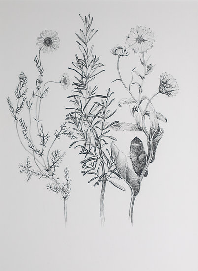 Walk #26 Chamomile, Rosemary and Marigold: Herbs of the Sun