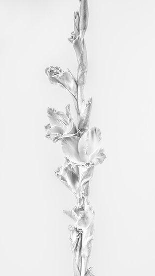 Gladiolus (Iris Family) / Blodyn-y-cleddyf dwyreiniol
