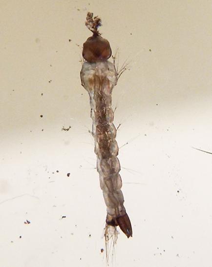 Larva de Aedes aegypti.png