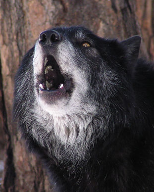 Apache howl.jpg