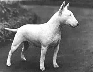 Bull-Terrier-muzzle-Bull-Terrier-697_LRG