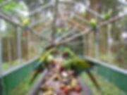 ara-manzanillo-aviary-green-macaw-feedin