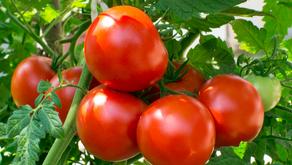 "Tomatoes ... the ""Acid Test"""