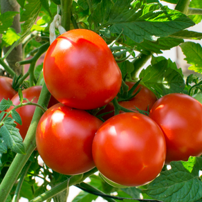"Tomatoes ... the ""Acid Test"""