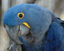 Hyacinth Macaw Diet