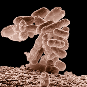Escherichia coli ... the infamous E.coli bacteria