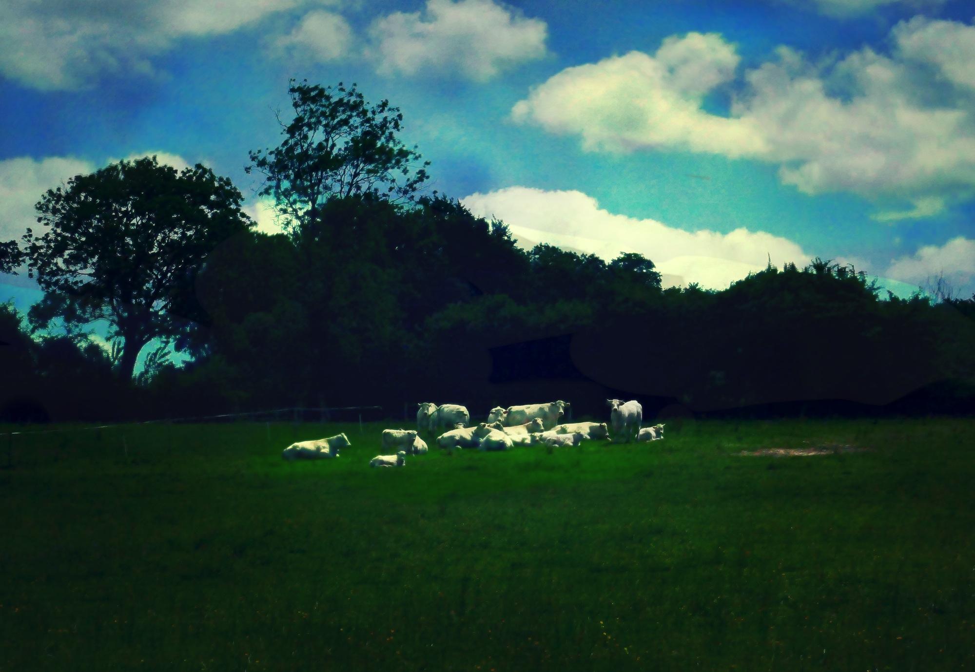 Les vaches paysage au couchant