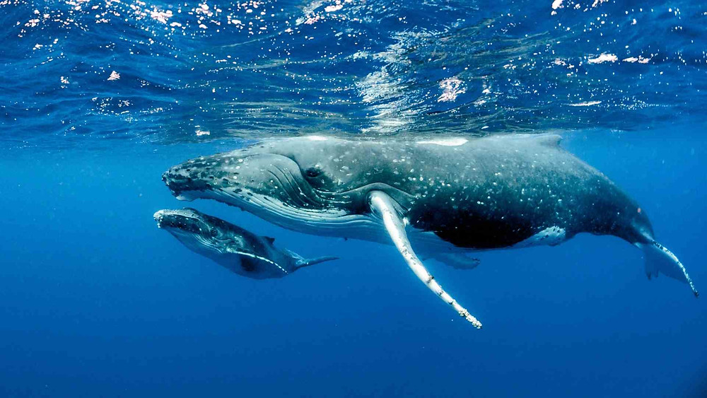 Stock Photo of a mother and baby whale