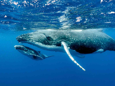 Weird and Wacky, the Strange Evolution of Whales
