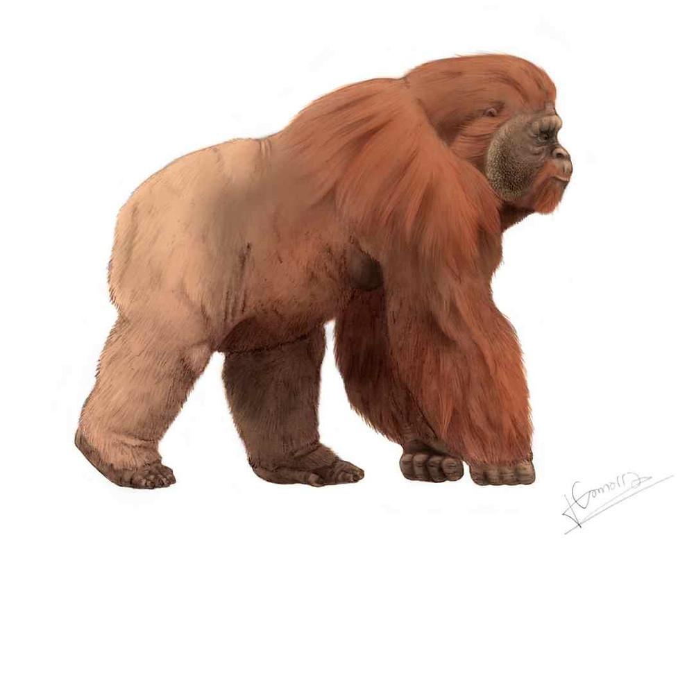 Artist rendering of the extinct Gigantopithecus