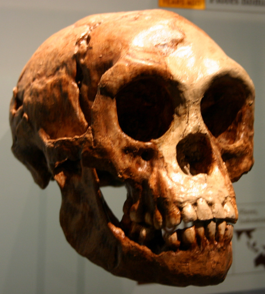 Skull of Homo floresiensis, an extinct hobbit man who existed  50,000 years ago