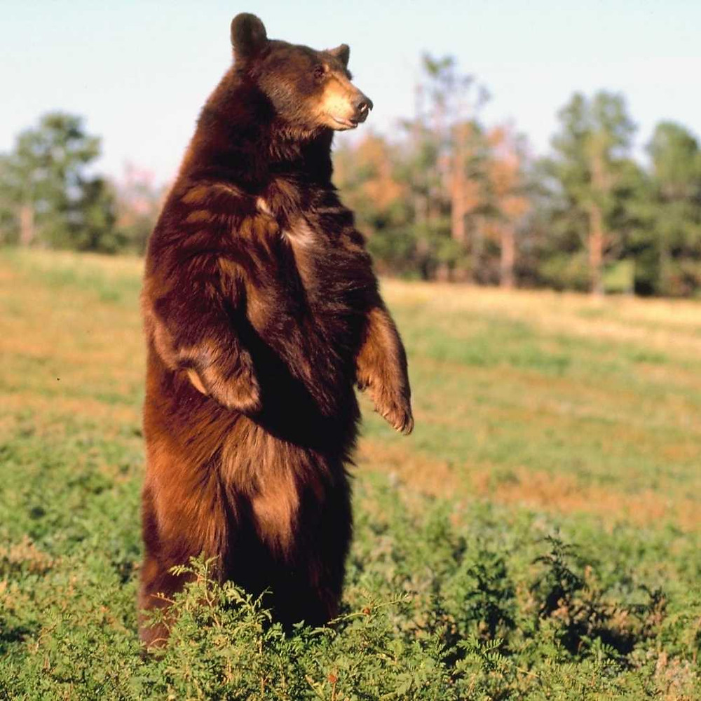 Photo of a bear standing up on two legs