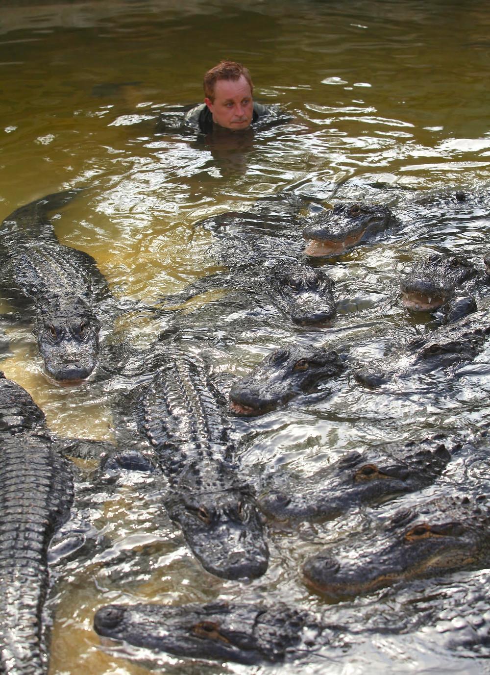 Gator Crusader Swimming with his gators