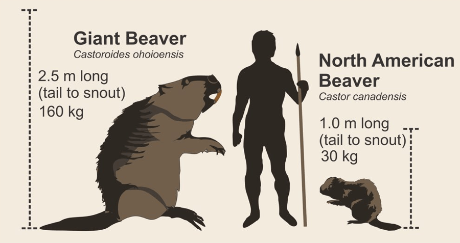 Giant Beaver size comparison chart