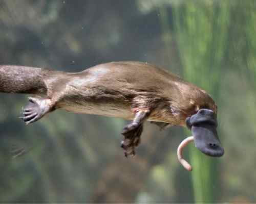 image of a Platypus swimming and eating a worm