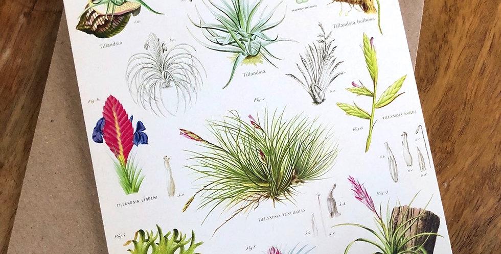Air Plants Botanical Print Greeting Card