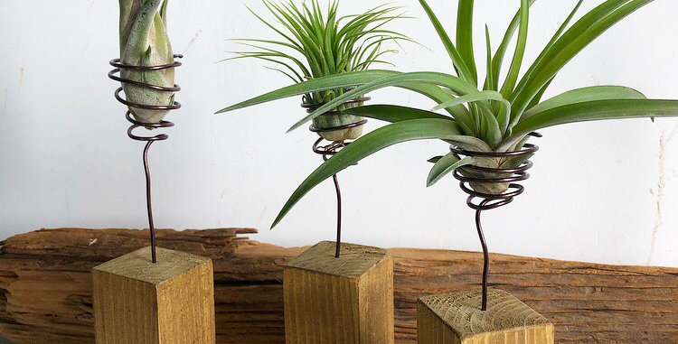 Single wooden block with floating air plant