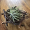 Thumbnail: Air Plant nest