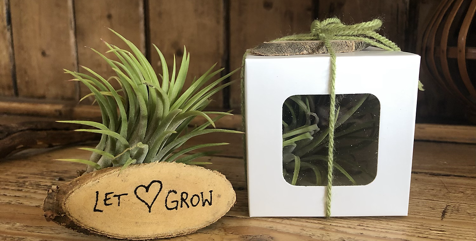 Air Plant in gift box 'Let 💚 grow'