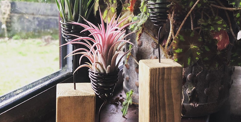 Set of 3 wooden blocks with floating air plants