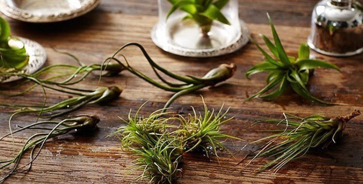Set of 3 Air Plants