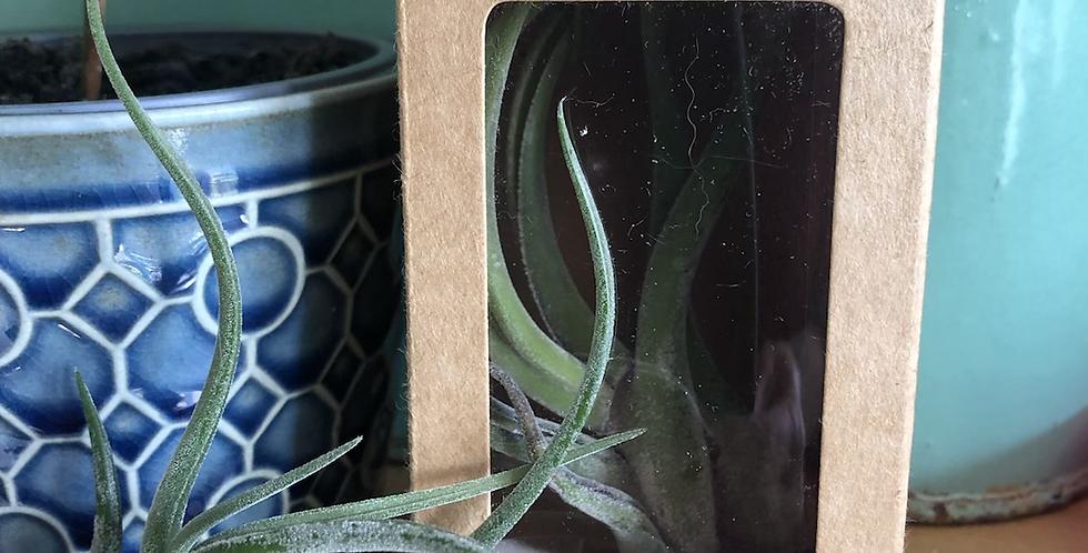 Gift box 'air plant'