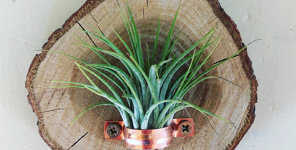 Wooden wall hanging with air plant