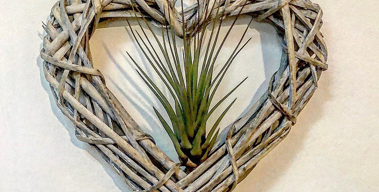 Wicker heart with Air Plant