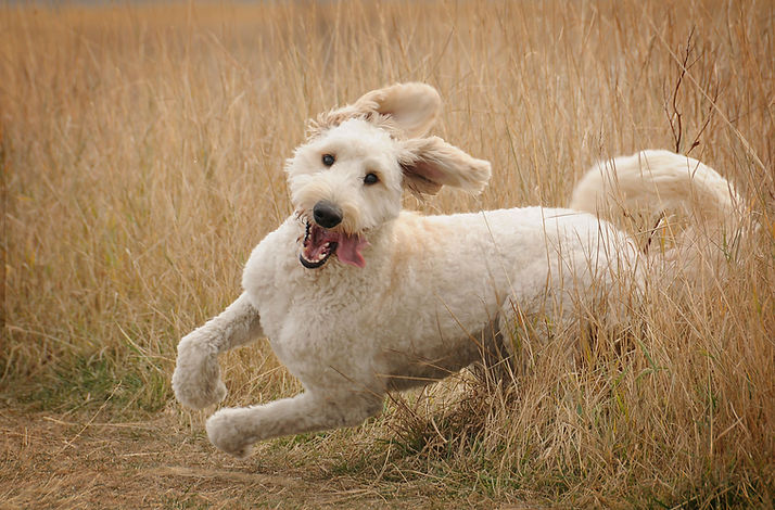 running-goldendoodle-121536291-0f6c9dfc9
