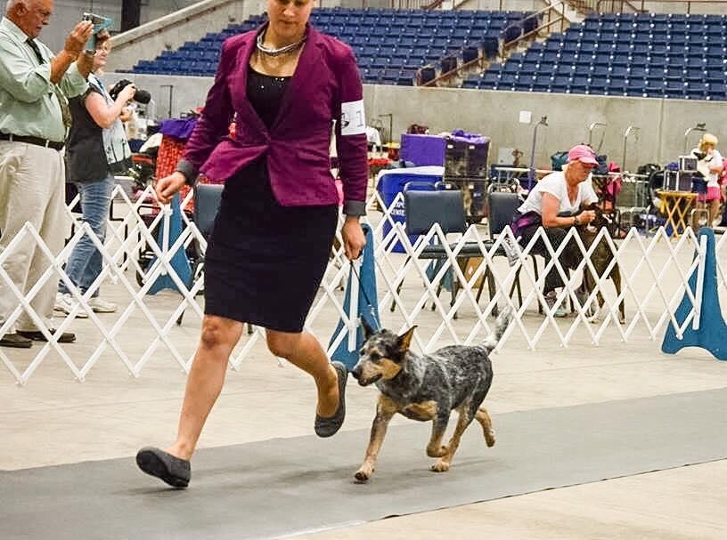 Enid Dog Show Sooner State Kennel Club Beginner Puppy