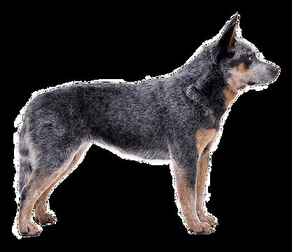 australian-cattle-dog.png