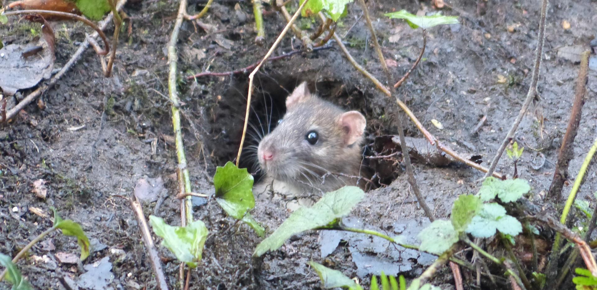 Mouse hyde Park.jpg