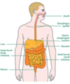 Liver-in-digestive-system_tcm9-271810.jp
